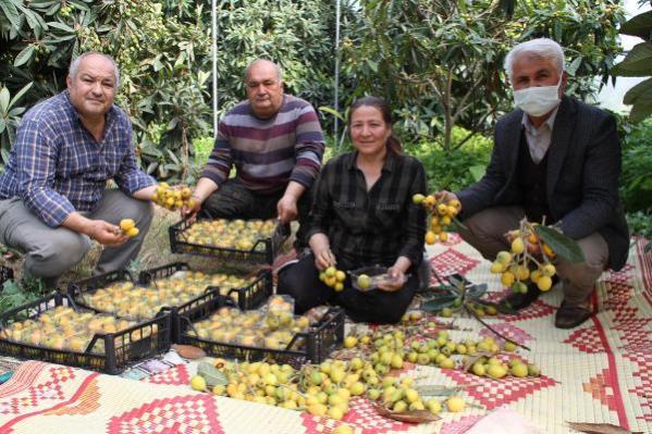 Yenidünya hasadı başladı, üretici fiyattan dolayı bayram ediyor: Kilosu 30 lira