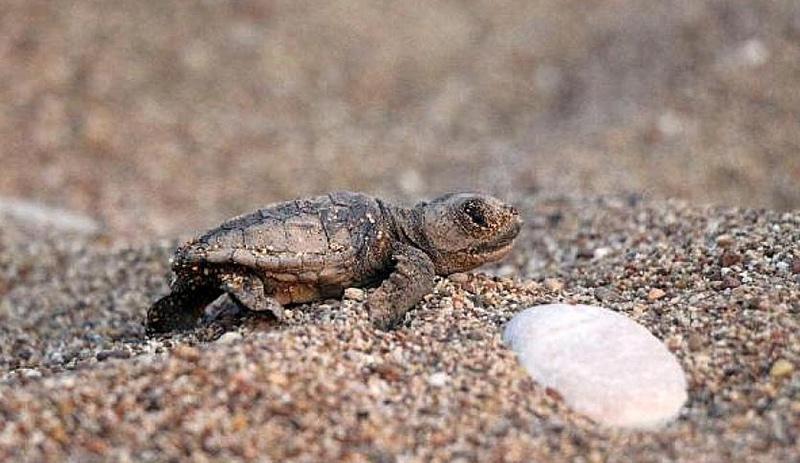 Caretta Caretta'lar sahillere ilk yumurtalarını bırakmaya başladı