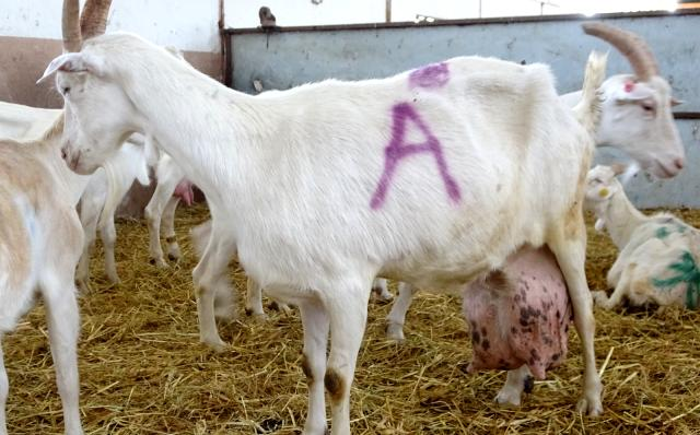 Sahibi bile hayrete düştü! Beslediği keçi bir günde ağırlığının yarısı kadar süt verip, rekor kırdı