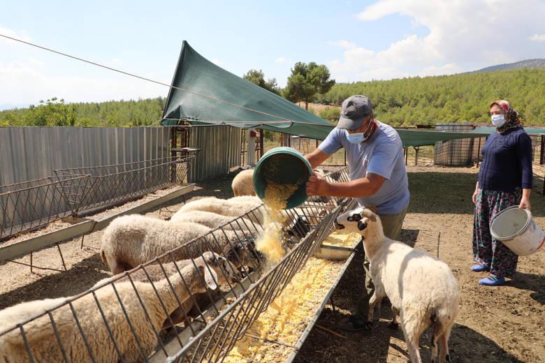Antalya Büyükşehir Belediye Başkanı Böcek mağdur aileye 15 koyun hediye etti