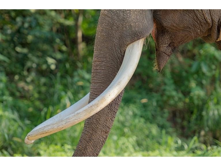 Dişleri yüzünden avlanan filler evrim geçirdi