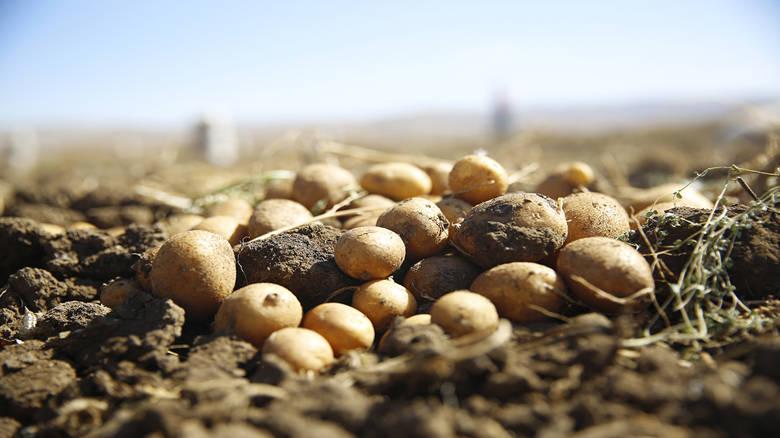 Faydalı böcek yetiştiriciliği içinekilen patatesler hasat ediliyor