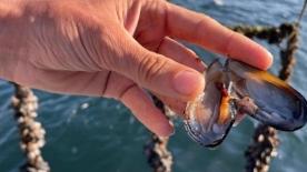 Marmara Denizi'nin temizlenmesi için 45 bin ton midye yetiştirilecek
